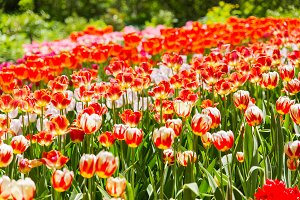 Natural background with red tulips