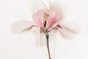 Pink magnolia on a white background