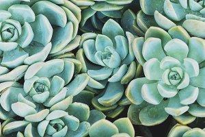 Rock Rose Succulents Portrait