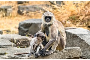 Gray langur monkeys at Daulatabad Fort in India