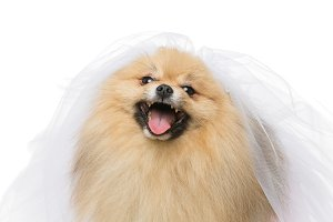 beautiful spitz bride isolated on white