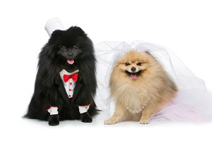 dog wedding couple isolated on white