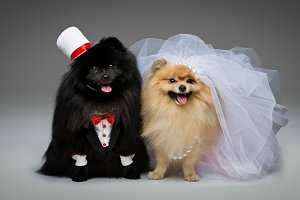 Spitz dog wedding couple