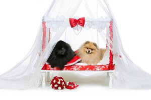 Spitz dog wedding couple on bed
