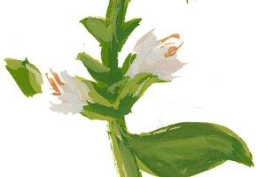 basil blossom