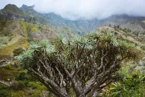 Huge dragon tree in an valley on Santo Antao, Cape Verde Cabo Verde