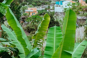 Banana leaves and typical dwellings in the Paul Valley. Many cultivated plants growing on the route down the valley. Santo Antao Island, Cape Verde