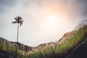 Mountain hill with the palm tree, overgrown with sugarcane plants. Sun Rays coming through the clouds. on Santo Antao, Cape Verde
