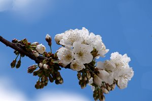 Cherry blossom branch and blue sky