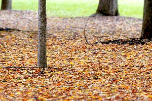 autumnal foliage background with tre