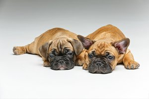 cute french bulldog puppies