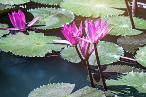 lotus flower plants in pond