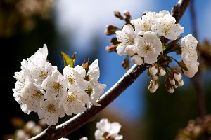 Branch of cherry blossom