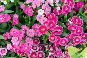 pink red daisy flowers