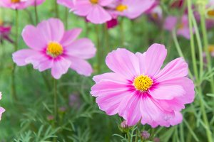 pink cosmos flowers in the field