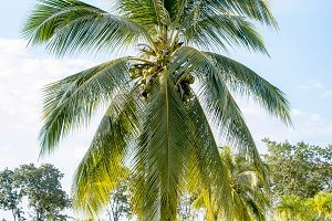 The coconut palm in the park
