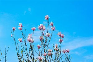 Magnolia and Blue Sky