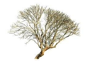 Plumeria tree (frangipani trees)