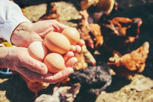 Chicken eggs in hands.
