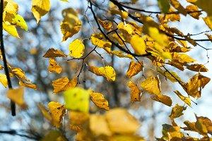 bright foliage limes