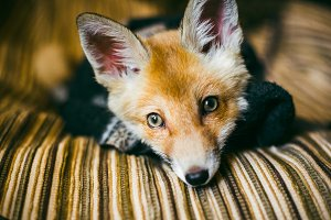 little fox wrapped in a scarf.