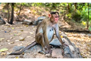 Bonnet macaque on Elephanta Island near Mumbai in India