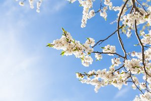 Spring time, Blossoming tree