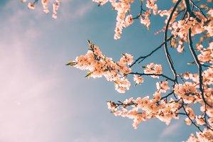 Spring time, Blossom trees
