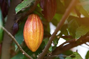 Group of cacao pods