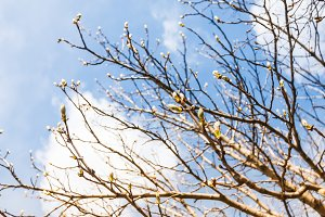 Spring, buds on branches