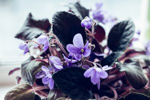 Blue flowers of violets