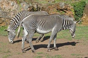 Two zebras
