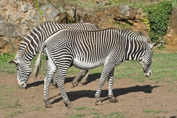 Animal Stock Photos: Angel Simon Photography - Two zebras