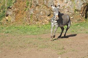 Zebra running free