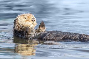 Curious Sea Otter Floating in Water