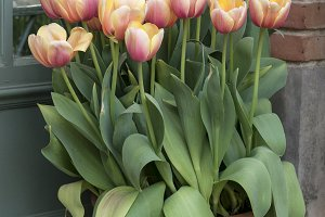 Tulips in a flower pot