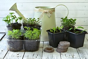 Vintage watering can and seedlings