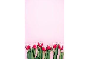 Row of pink tulips.