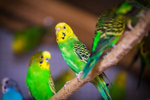 three beautiful yellow-green parrot