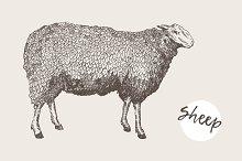 Illustration of a sheep