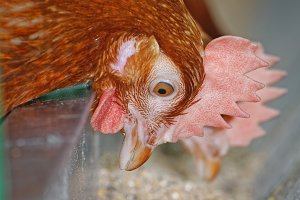 Close-up of red chicken eating on the farm