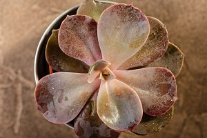 Succulents red echeveria close-up