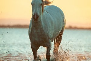 Camargue horse in water