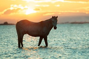 camargue horse in water, sunrise