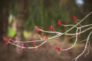 Branches blooming in Spring