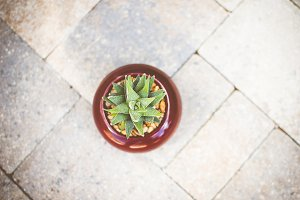 Aloe Aristata Haworthia Succulent