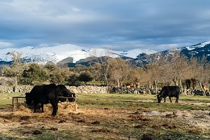 Livestock grazing against snow capped mountains