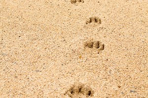 Footsteps of a dog on the sand 2