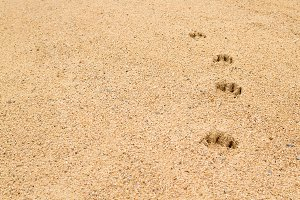 Footsteps of a dog on the sand 3