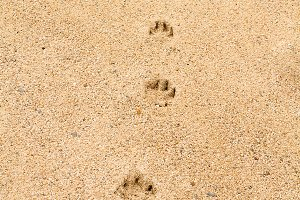 Footsteps of a dog on the sand 1